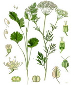 Aniseed Botanical Cycle