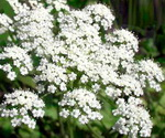 Aniseed Plant