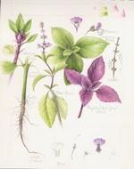 Green and Purple Basil Botanical Image