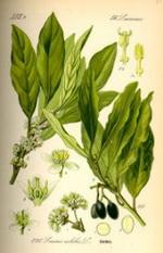 Bay Leaf Botanical Cycle