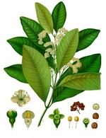 Allspice Botanical Image