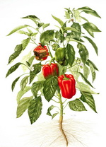 Capsicum Botanical Cycle 2