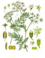 Caraway Botanical Cycle