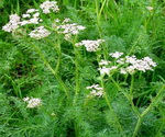 Caraway Plants