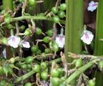 Cardamon Plant Blossoms