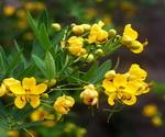 Cassia Flowers