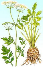 Celery Seed Botanical Cycle
