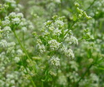 Celery Seed Plant Flowers