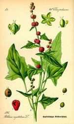 Epazote Botanical Cycle