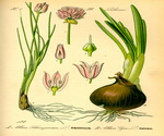 Chives Botanical Cycle