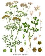 Cilantro Coriander Botanical