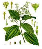 Cinnamon Botanical Cycle