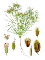 Cumin Botanical Cycle