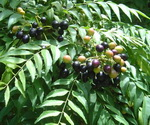 Curry Leaf Berries 1X