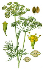 Dill Botanical Cycle