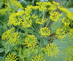 Dill Plant with Flowers