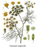 Fennel Botanical Cycle