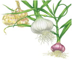 Garlic Botanical Image