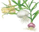 Garlic Botanical Image