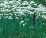 Garlic Chives in The Fields