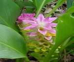 Ginger Flowers