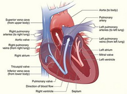 The Heart as  a Hypertension Source