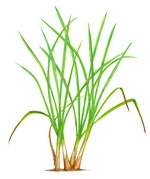 Lemongrass Botanical Image