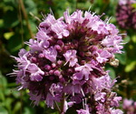 Marjoram Flower