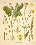 Mustard Botanical Cycle 1