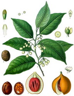 Mace and Nutmeg Botanical Cycle