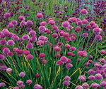 Onion Chives In The Fields