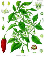 Paprika Botanical Cycle