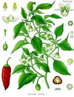 Paprika Botanical Cycle