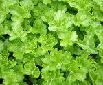Parsley Curley Leaf