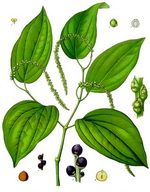 Pepper Botanical Cycle