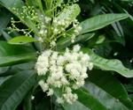 Pimenta dioica Allspice plant