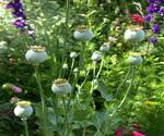 Poppy Seed Plants