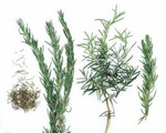 Rosemary Botanical Cycle 2