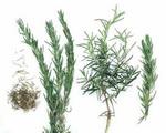 Rosemary Botanical Cycle 2