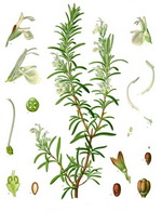 Rosemary Botanical Cycle