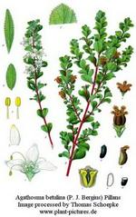 Rutaceae Family