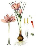 Saffron Botanical Cycle