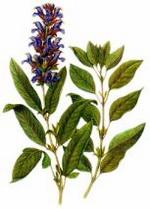 Sage Botanical Image