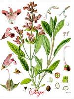 Sage Botanical Cycle
