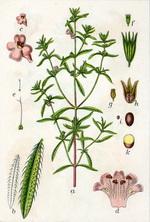 Summer Savory Botanical Cycle