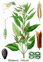 Sesame Botanical Cycle