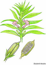Sesame Botanical Image 2