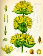 Tarragon Botanical Flowers