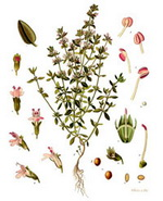 Thyme Botanical Cycle