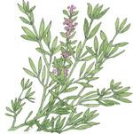 Thyme Botanical Image 2